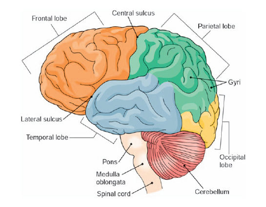 How does the size of the brain change from birth to ...
