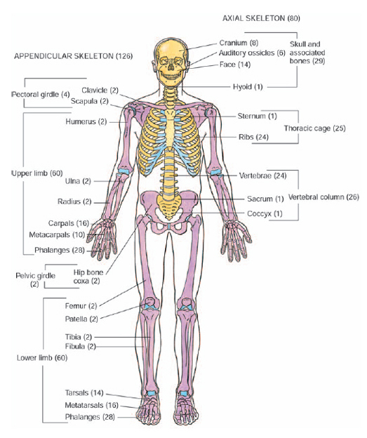 What are the major divisions of the human skeleton? - The Handy ...