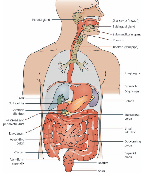 what are the major organs of the digestive system? - the handy, Human Body
