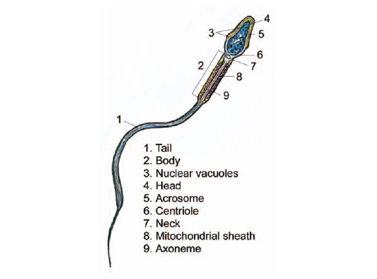 Where Does Sperm Production Occur In The Testes The Handy Anatomy