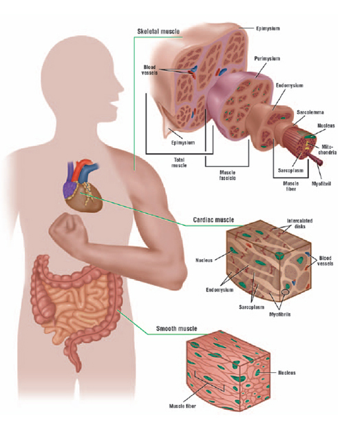 Do cardiac muscle cells continue to divide throughout a person\'s ...