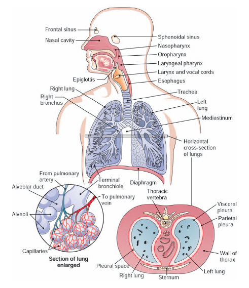 What Are The Two Divisions Of The Respiratory System The Handy