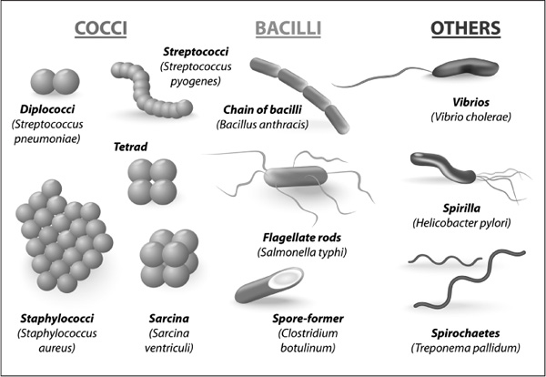 do bacteria all have the same shape the handy biology answer book
